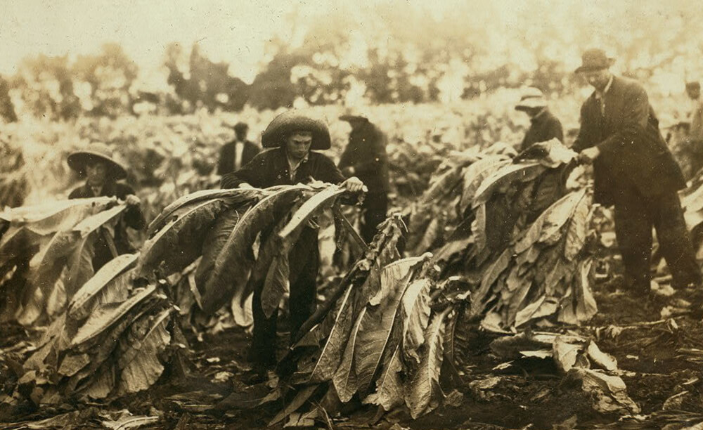 História tabaku - zber tabakových listov