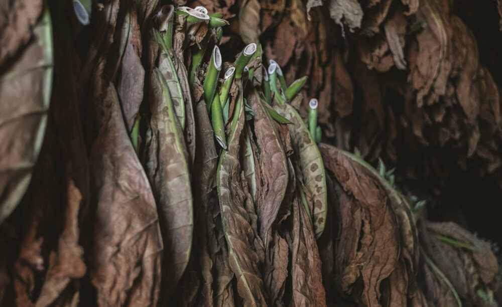 Spracúvanie tabaku - sušenie
